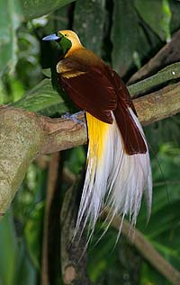 http://welkis.files.wordpress.com/2008/10/lesser_bird_of_paradise.jpg